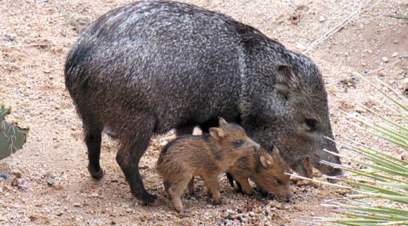 peccary and babies